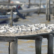 Sandwich terns — Stock Photo