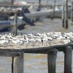 ������, ������: Sandwich terns