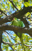 Rose-ringed parakeets matting — Stock Photo