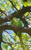 Rose-ringed parakeets matting — Stock Photo