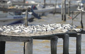 Sandwich terns — Stock Photo