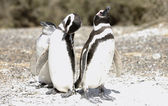 Magellanic Penguins family — Stock Photo