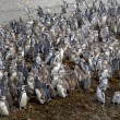 Large number of Magellanic penguins — Stock Photo