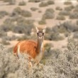 Guanaco — Stock Photo #23968751