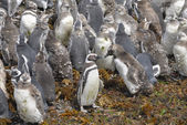 Close to Magellanic penguins — 图库照片