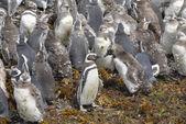 Nära magellanska pingviner — Stockfoto