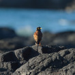 Common myna — Stock Photo