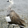 Upland goose — Stock Photo
