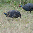Helmeted guineafowls — Stock Photo