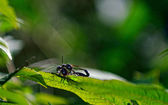 Schwarzer garten ameisen — Stockfoto