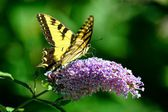 Eastern Tiger Swallowtail butterfly — Stock Photo