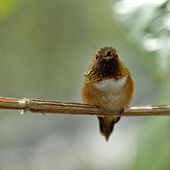 Ruby-throated hummingbird — Stock Photo