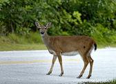 Key deer — Stock Photo