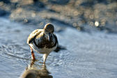 Least Sandpiper — Stock Photo