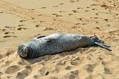 Hawaii baby Monk Seal — Stock Photo