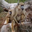 Stock Photo: SavannBaboons