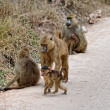 Stock Photo: SavannBaboons whole family