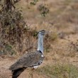 Stock Photo: Kori Bustard