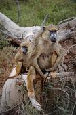 Babuínos da savana — Foto Stock