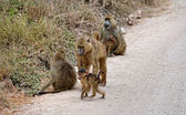 Savanna Baboons whole family — Stock Photo