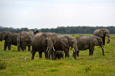 Elefantes africanos — Foto Stock