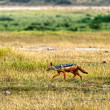 Stock Photo: Side-striped Jackal