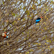Stock Photo: Couple of Woodland Kingfishers