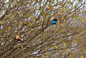 Couple of Woodland Kingfishers — Stock Photo