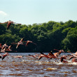 Stock Photo: Greater Flamingos