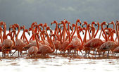 Flock of greater flamingos — Stock Photo