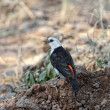 Stock Photo: White-headed Buffalo-Weaver