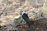 White-headed Buffalo-Weaver — Stock Photo
