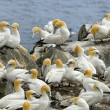 Stock Photo: Northern Gannets