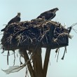 Stock Photo: Osprey mother and father with their baby