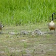Stock Photo: Canadgeese family
