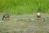 Canada geese family — Stock Photo