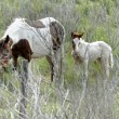 Stock Photo: Wild horse mother and son