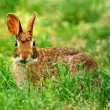 Stock Photo: Eastern Cottontail