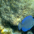 Stock Photo: Blue Tang