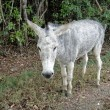 Stock Photo: Gray donkey