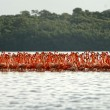 Stock Photo: Flock of greater flamingos