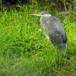 Stock Photo: Immature Black-Crowned Night-Heron
