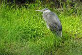 Immature Black-Crowned Night-Heron — Stock Photo