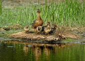 American black Duck family — Stock Photo