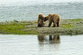 Two brown bears cubs playing — Stok fotoğraf