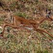 Stock Photo: Gerenuk