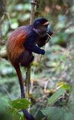 黄金の猿 — ストック写真