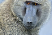 Savanna Baboon — Stock Photo