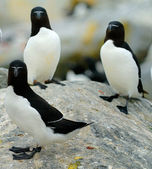 Razorbills — Stock Photo