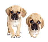 Cute Puggle puppies — Stock Photo
